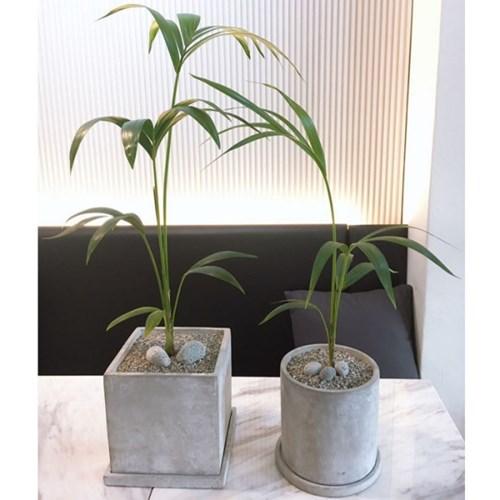 플라랜드 공기정화식물 겐차야자 사각 원형 시멘트화분