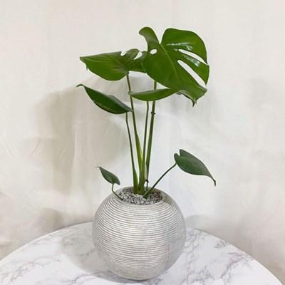 플라랜드 공기정화식물 몬스테라 FRP 줄무늬 볼 (화이트/ 그레이)