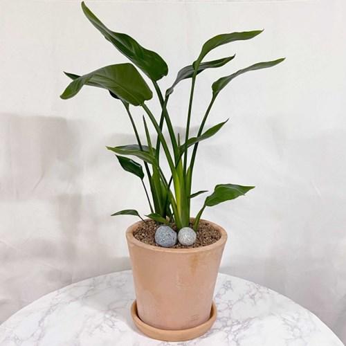 플라랜드 실내 공기정화식물 개업식물 극락조 테라코타토분 나팔화분