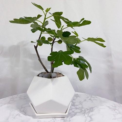 플라랜드 공기정화식물 무화과나무 FRP별 화분