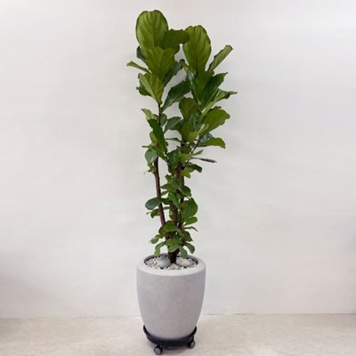 플라랜드 공기정화식물 특대형 떡갈고무나무 FRP 팽이화분