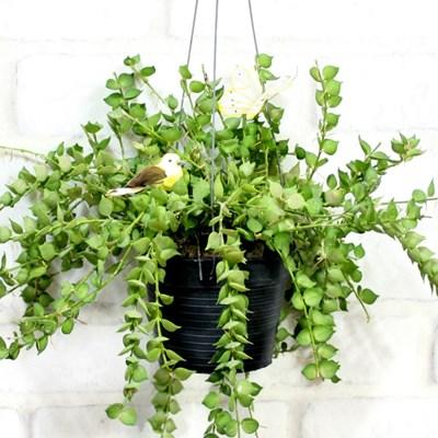 공기정화식물-밀리언하트