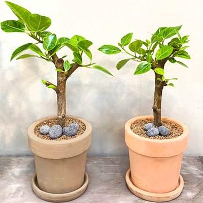 플라랜드 미세먼지 공기정화 식물 가지 뱅갈고무나무 테라코타 토분