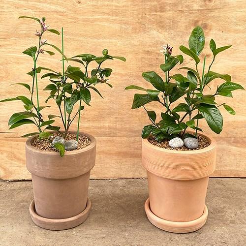 플라랜드 공기정화식물 오렌지레몬나무 테라코타토분