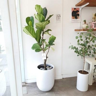 찐으로 멋진 떡갈고무나무 대형 화분 120-140 cm (수도권지역가능)