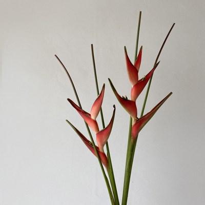 [생화] 헬리코니아 Heliconia (1대)