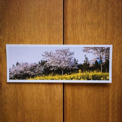 [손끝에서] 제주 놀멍쉬멍 사진엽서_제주벚꽃