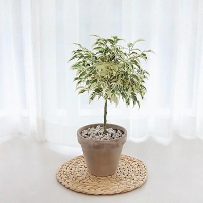무늬벤자민 고무나무 토분세트