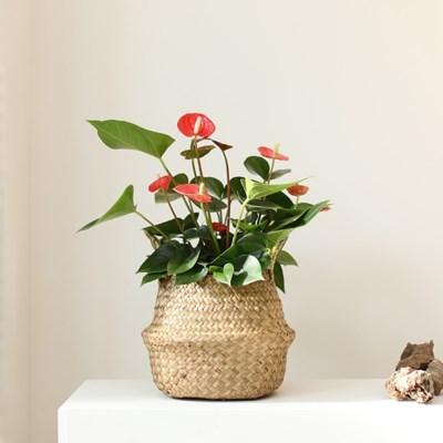 중대형 공기정화식물 내추럴 해초바구니 8종
