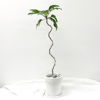 플라랜드 공기정화 식물 곡선 라인 황칠나무 테라조 화분 묘목
