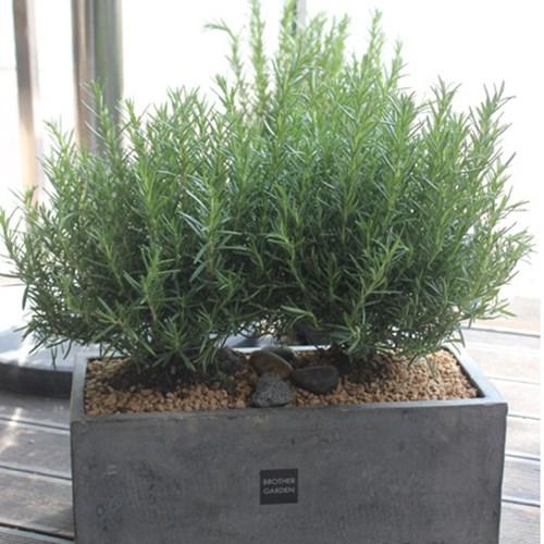 [브라더가든/전국배송가능]허브식물/집들이선물 로즈마_(1360510)
