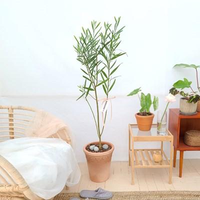 하늘하늘 긴잎 아카시아 대형 이태리 토분